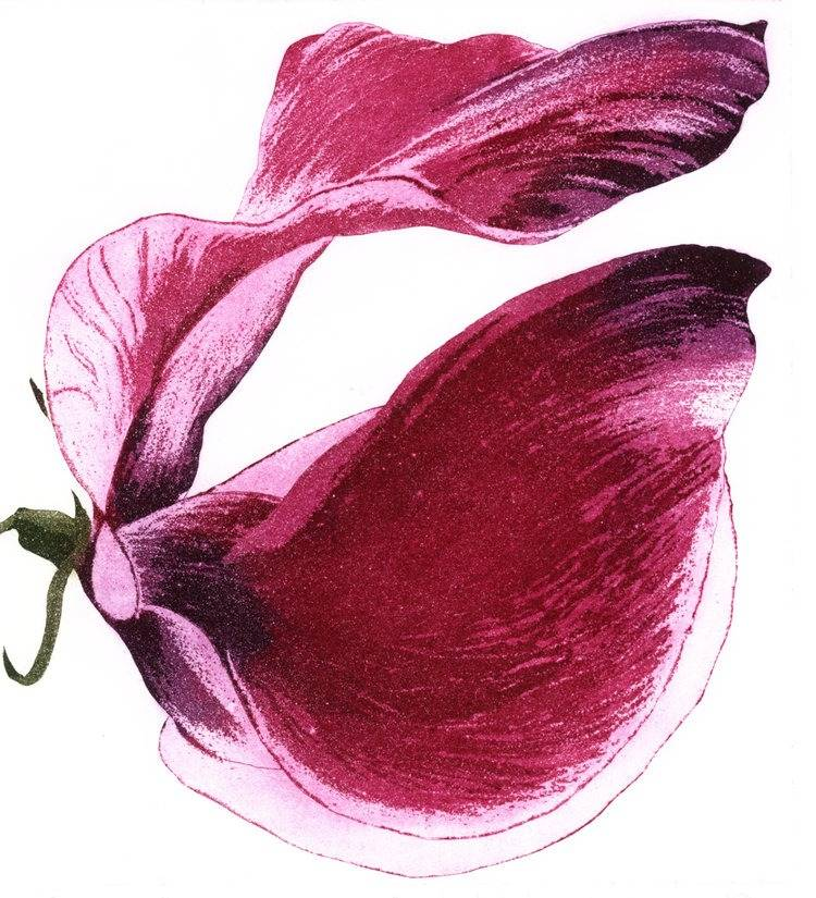 Grainne Cuffe, Sweet Scented Magenta Etching and Aquatint Image size- 20 x 18cm Paper size- 41 x 35cm