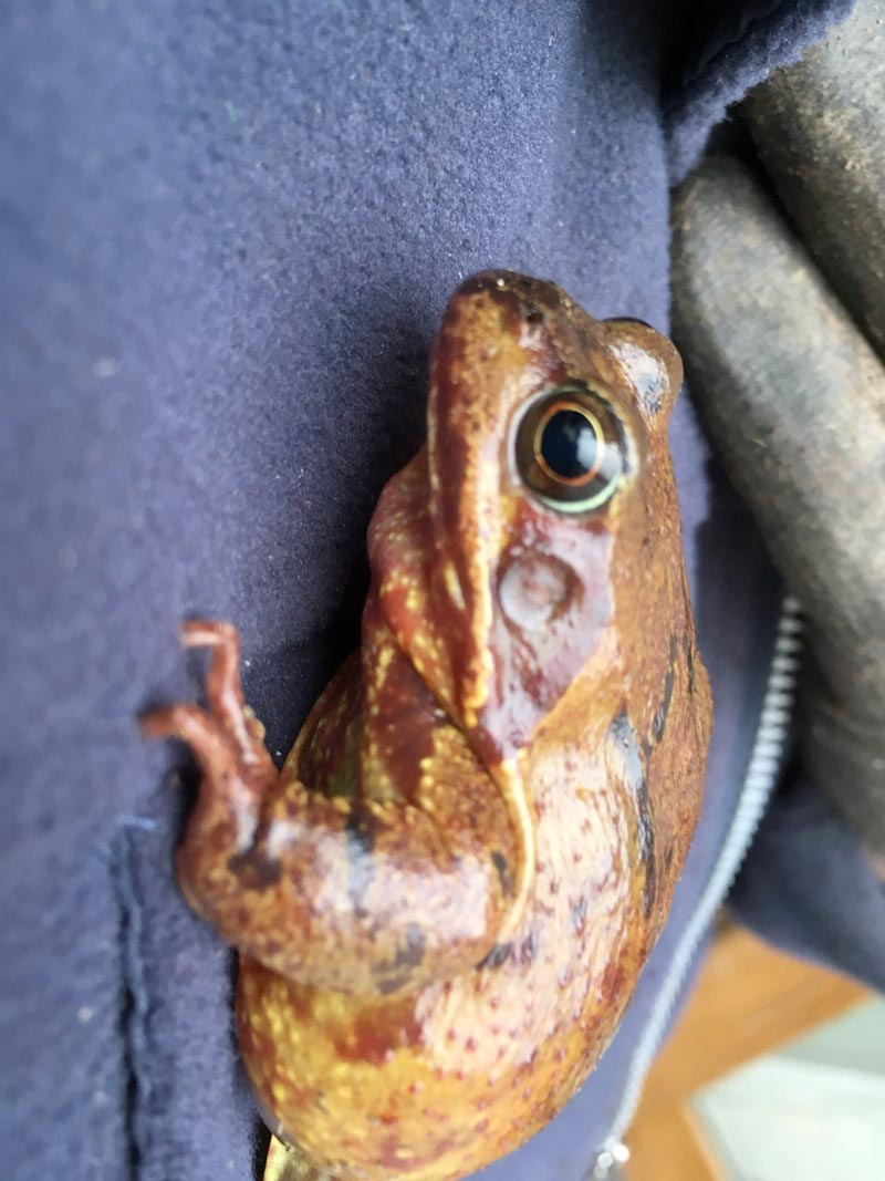 Rana temporaria common frog hops onto a member of staff