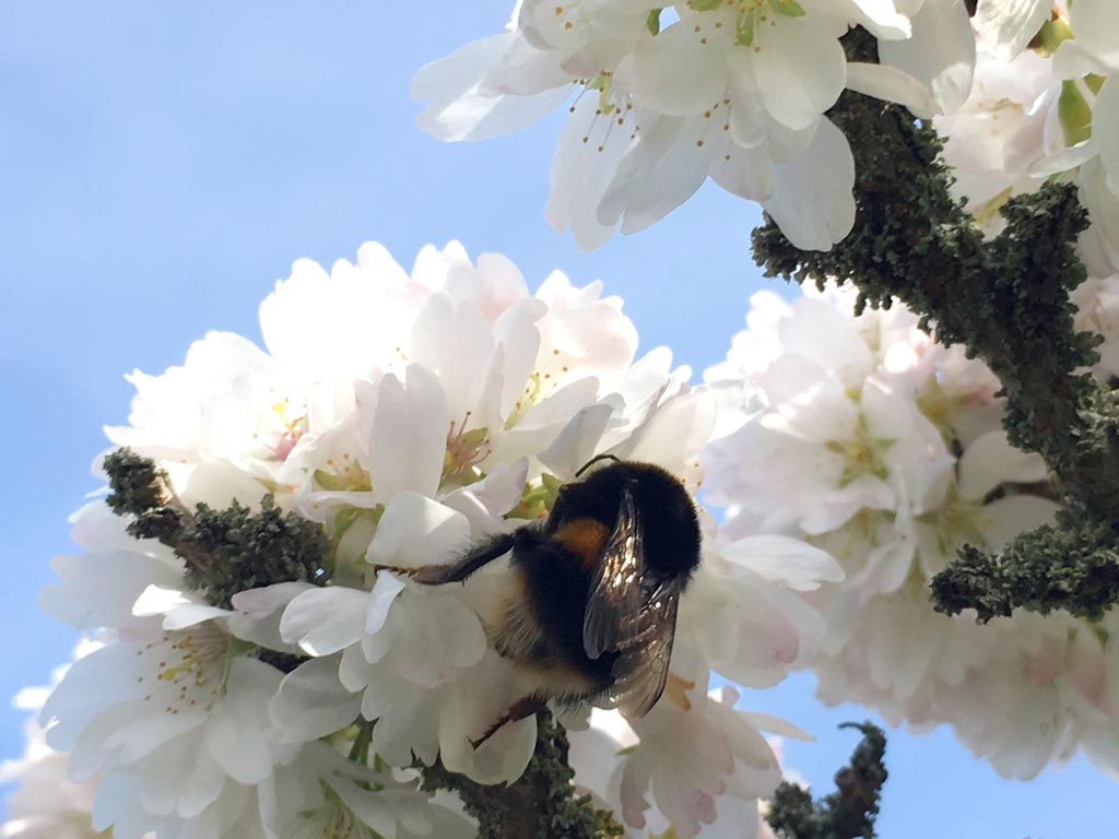 Prunus 'Woodfield Cluster' cherry tree with bumblebee