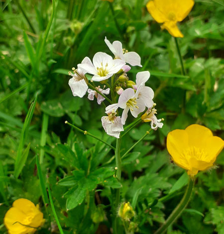 'Cookoo Flower' Cardamine pratensis