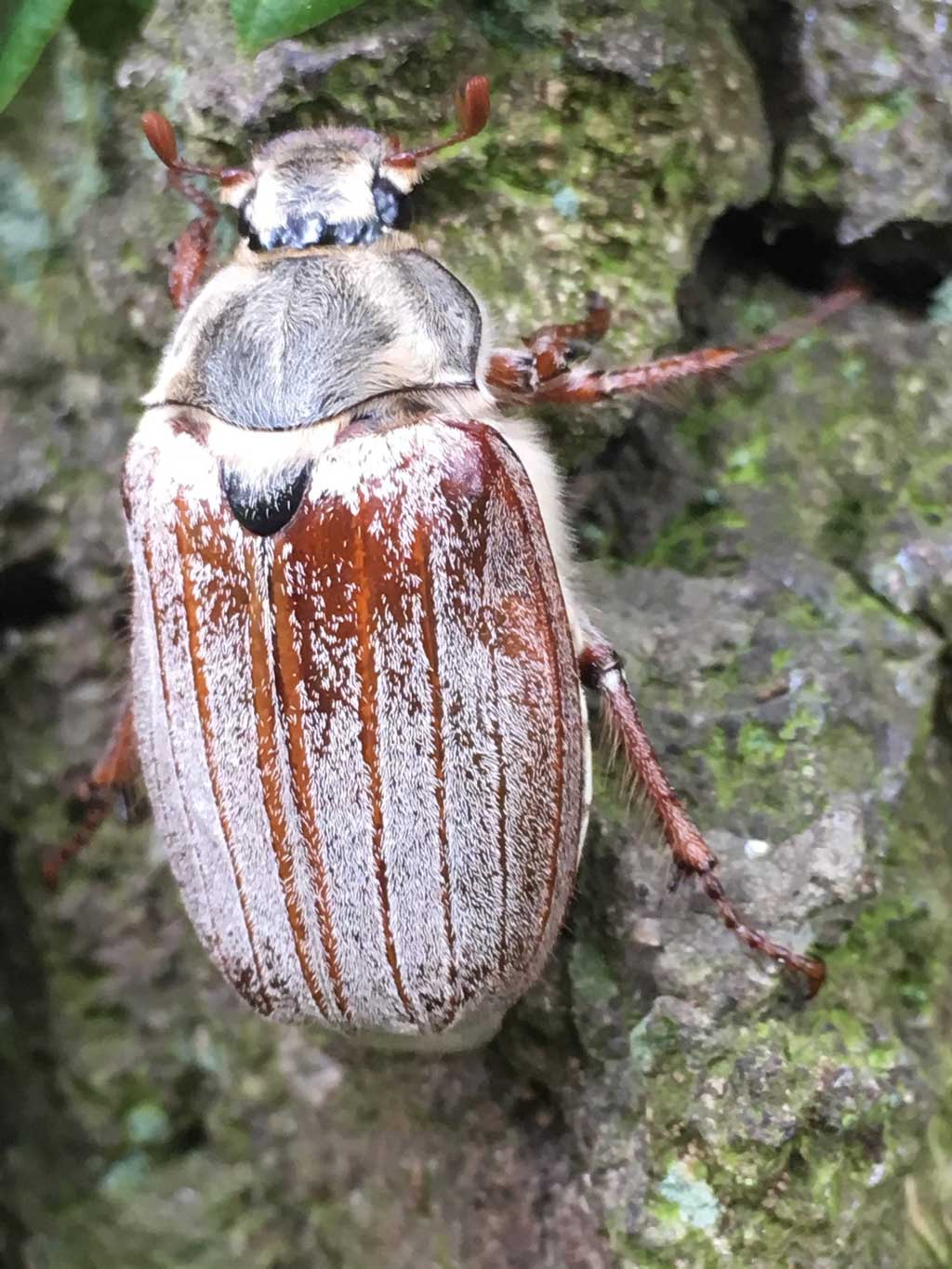 maybug cockchafer doodlebug