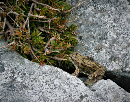 yew tree in burren with frog