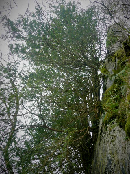 yew tree and cliff