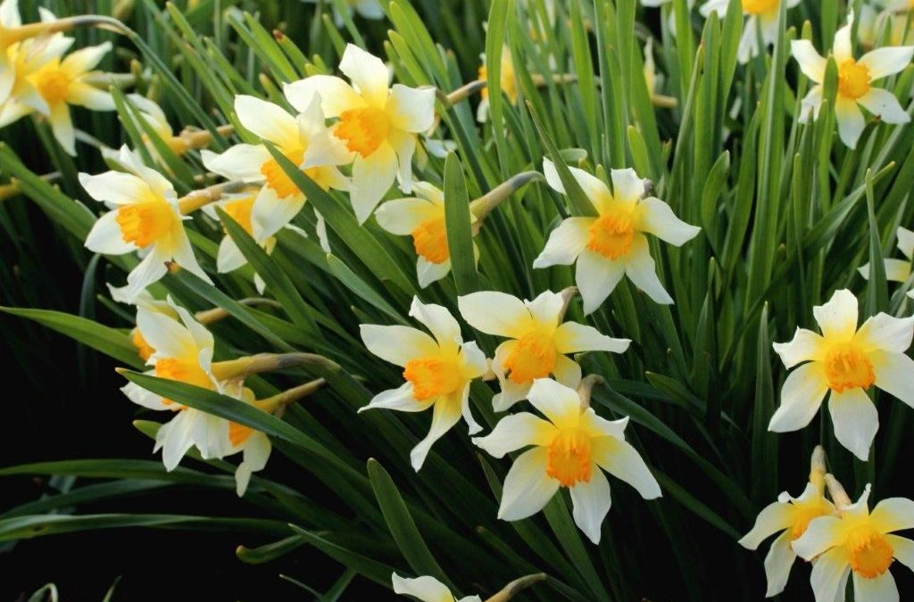 Introducing Narcissus 'Kilmacurragh' – a new daffodil cultivar